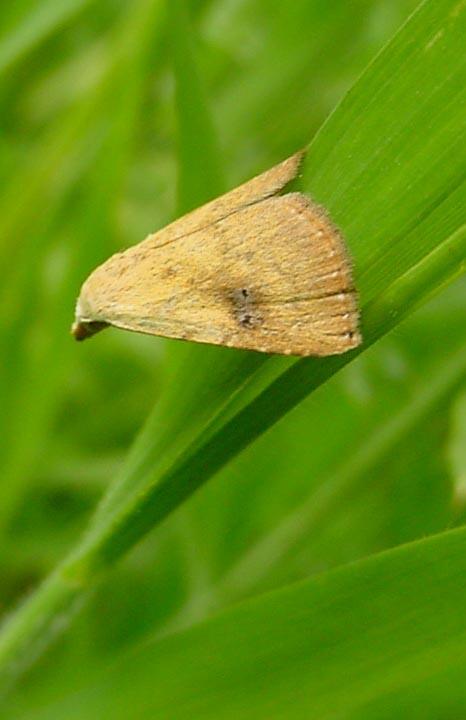 Onderwerpen vlinders dagactieve nachtvlinders rietvink of drinker euthrix potatoria - Riet voor struik ...